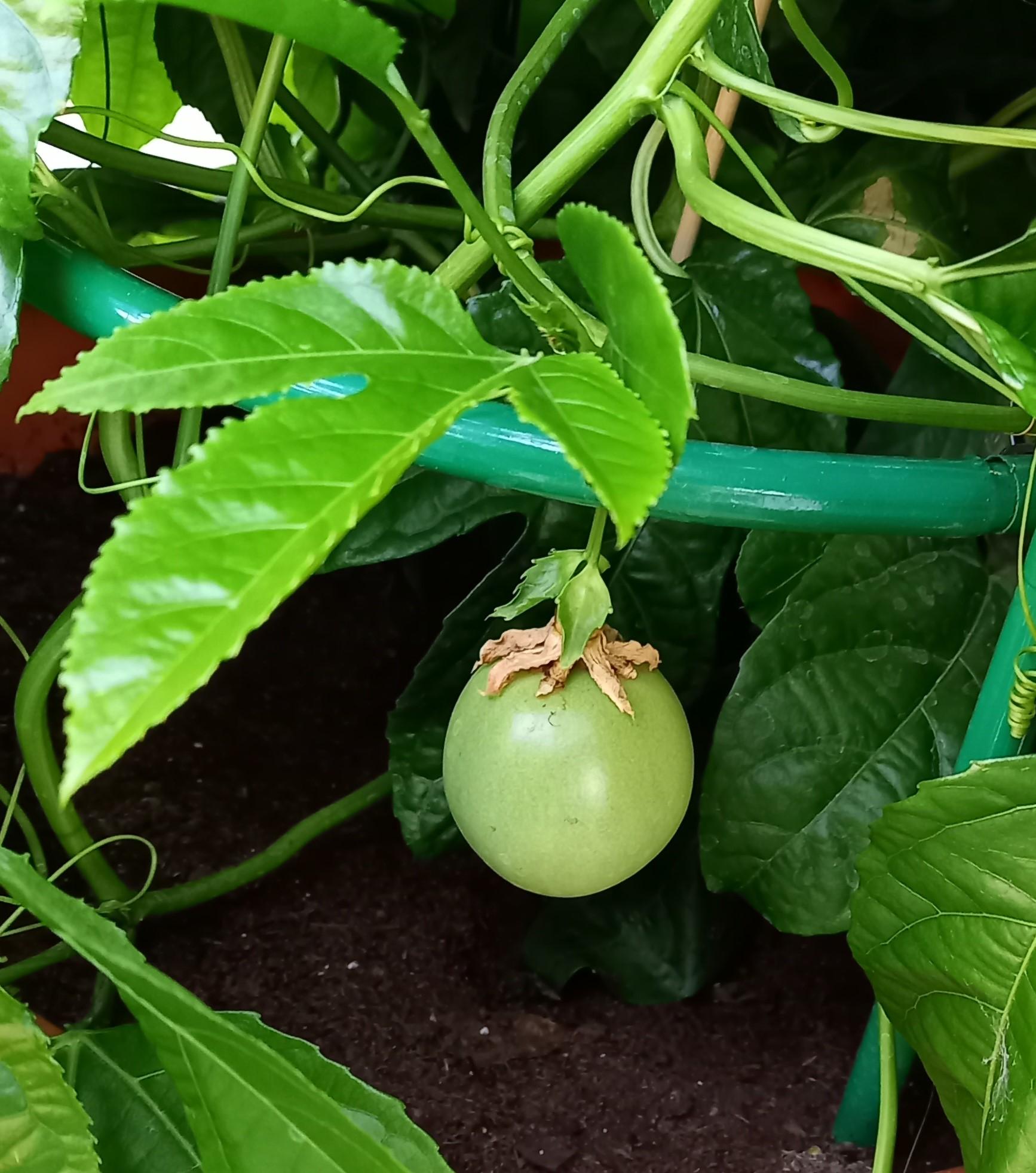 Maracuja - Passionsfrucht (Passiflora edulis) 'Suntropics®' T17, rankend