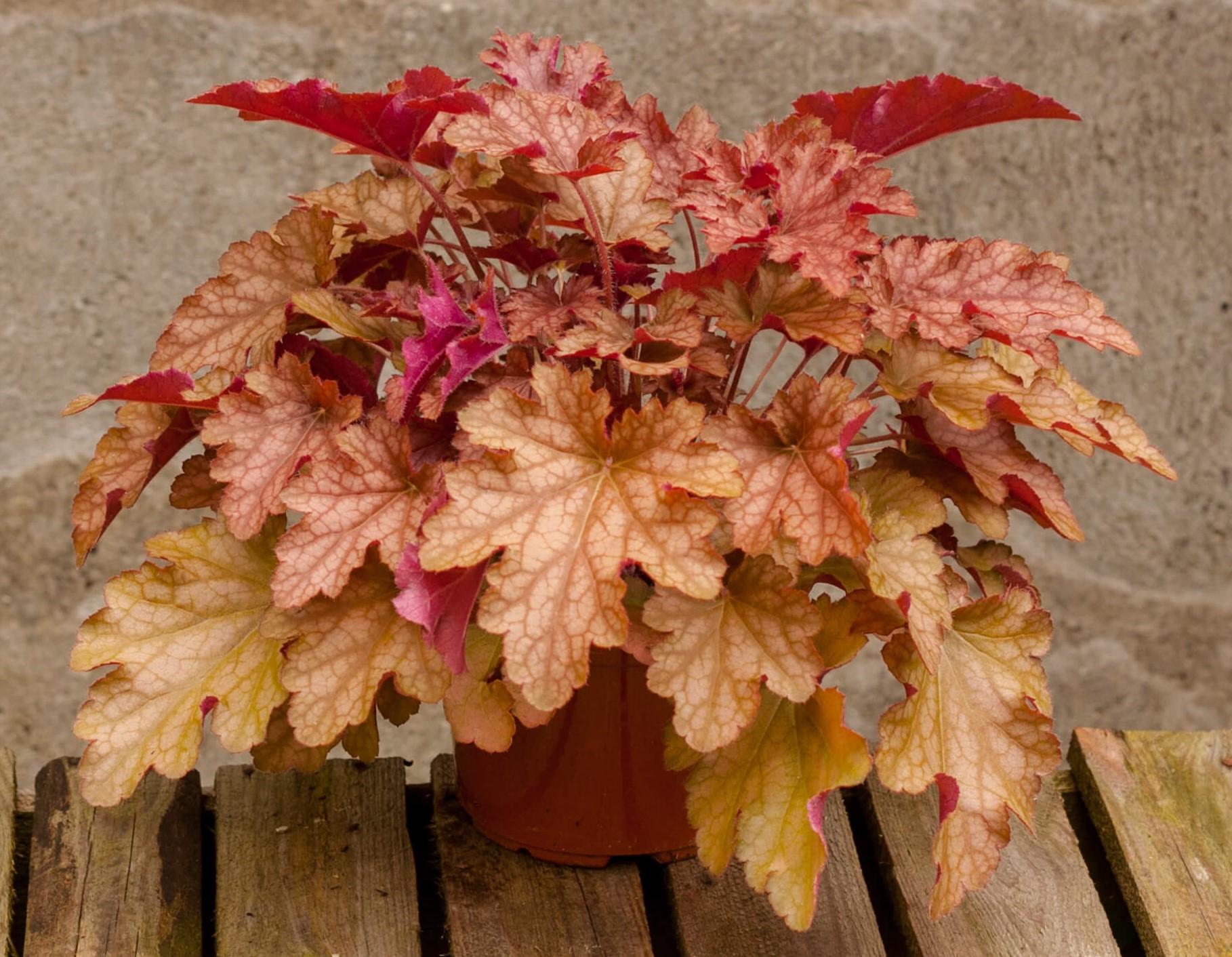 Purpurglöckchen (Heuchera) 'Ginger Peach' T12, pfirsichfarben - winterhart -