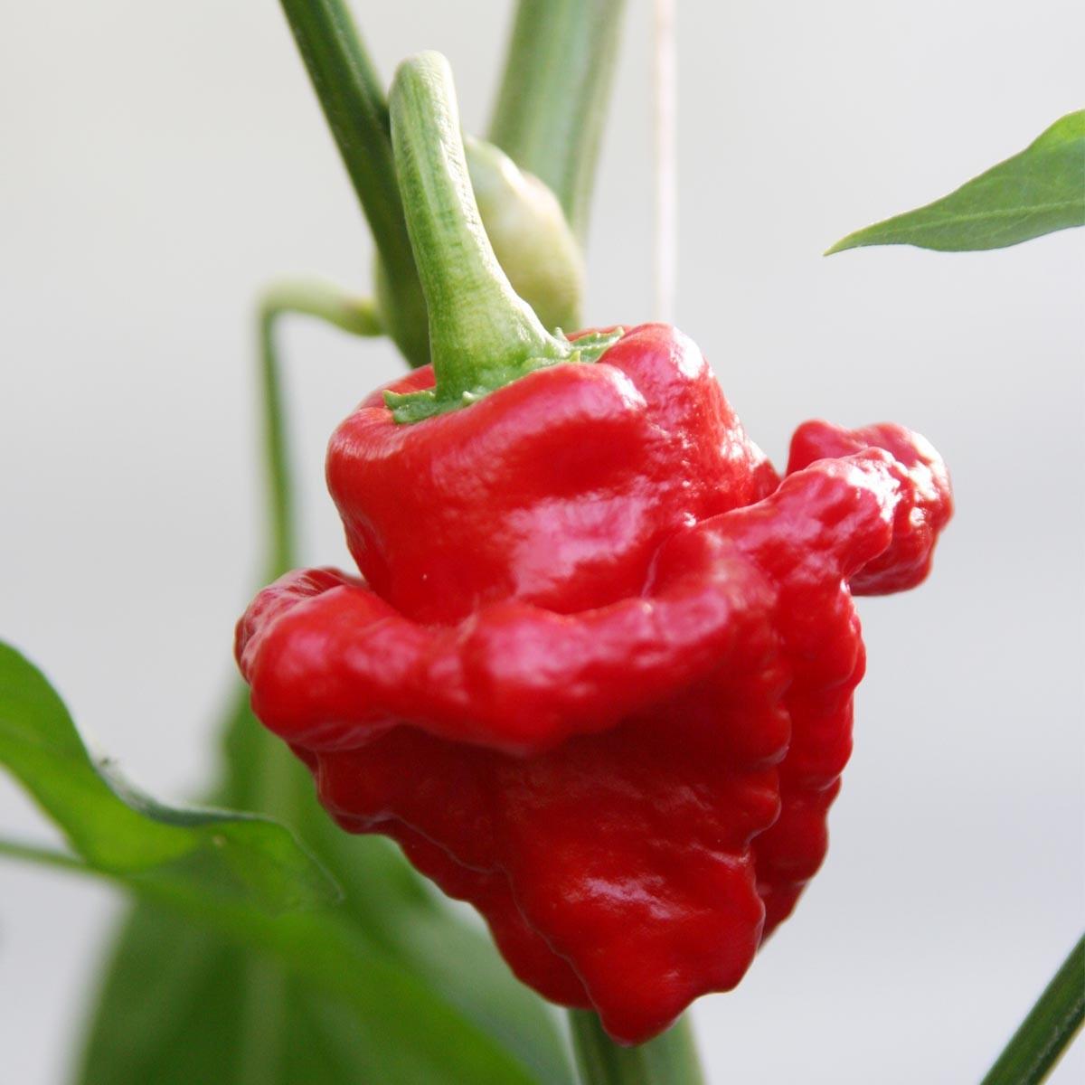Scotch Bonnet Chili 'Animo® Red' extrem scharf