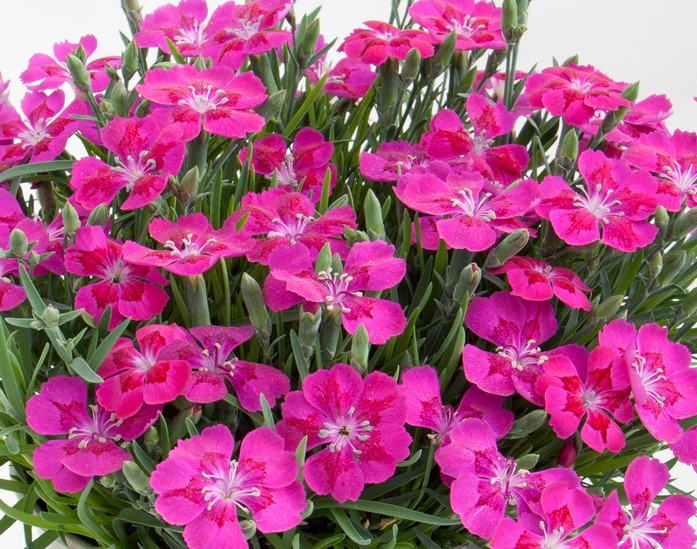 Nelke (Dianthus) T12 Pillow Magenta - einfachblühend + winterhart