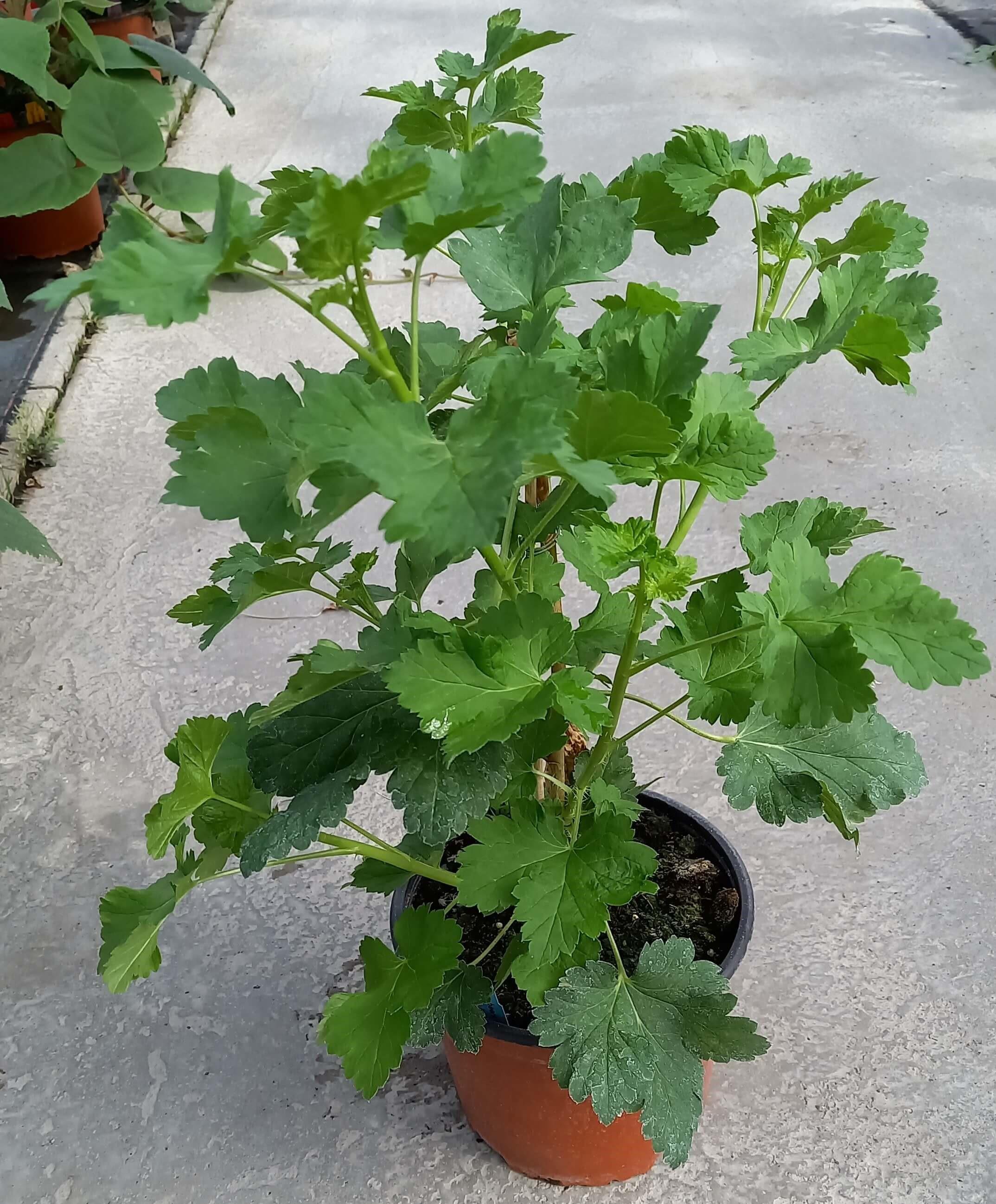 Jostabeere (Ribes x nidigrolaria) Jofruity® T17