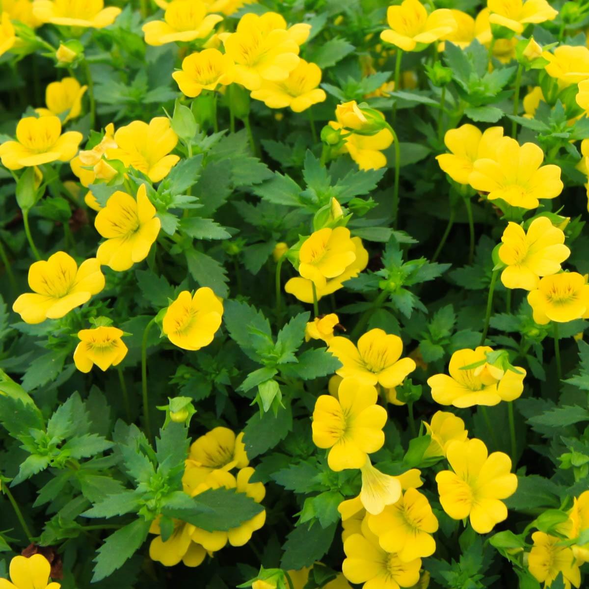 Goldflöckchen (Mecardonia) 'gelb'