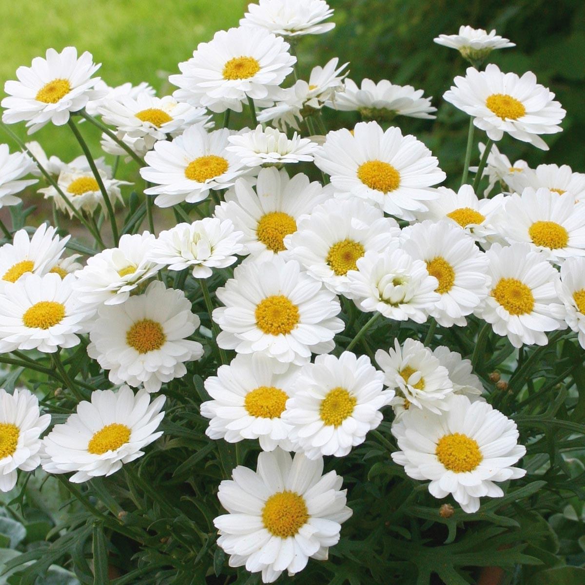 Strauchmargerite (Argyranthemum) 'weiß'