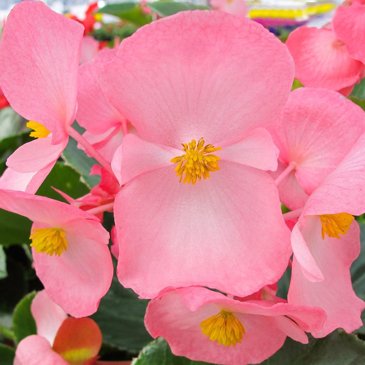 Solitär-Begonie 'Big™' rosa grünlaubig