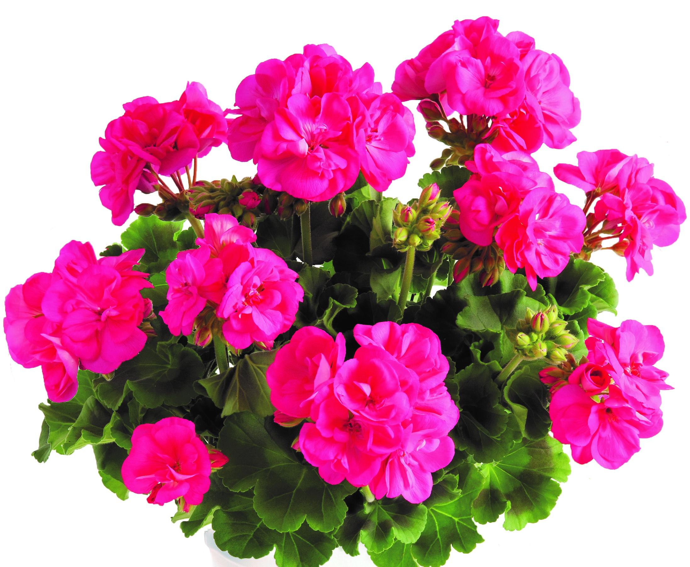 Geranie aufrecht wachsend | pinkrosa halbgefüllt