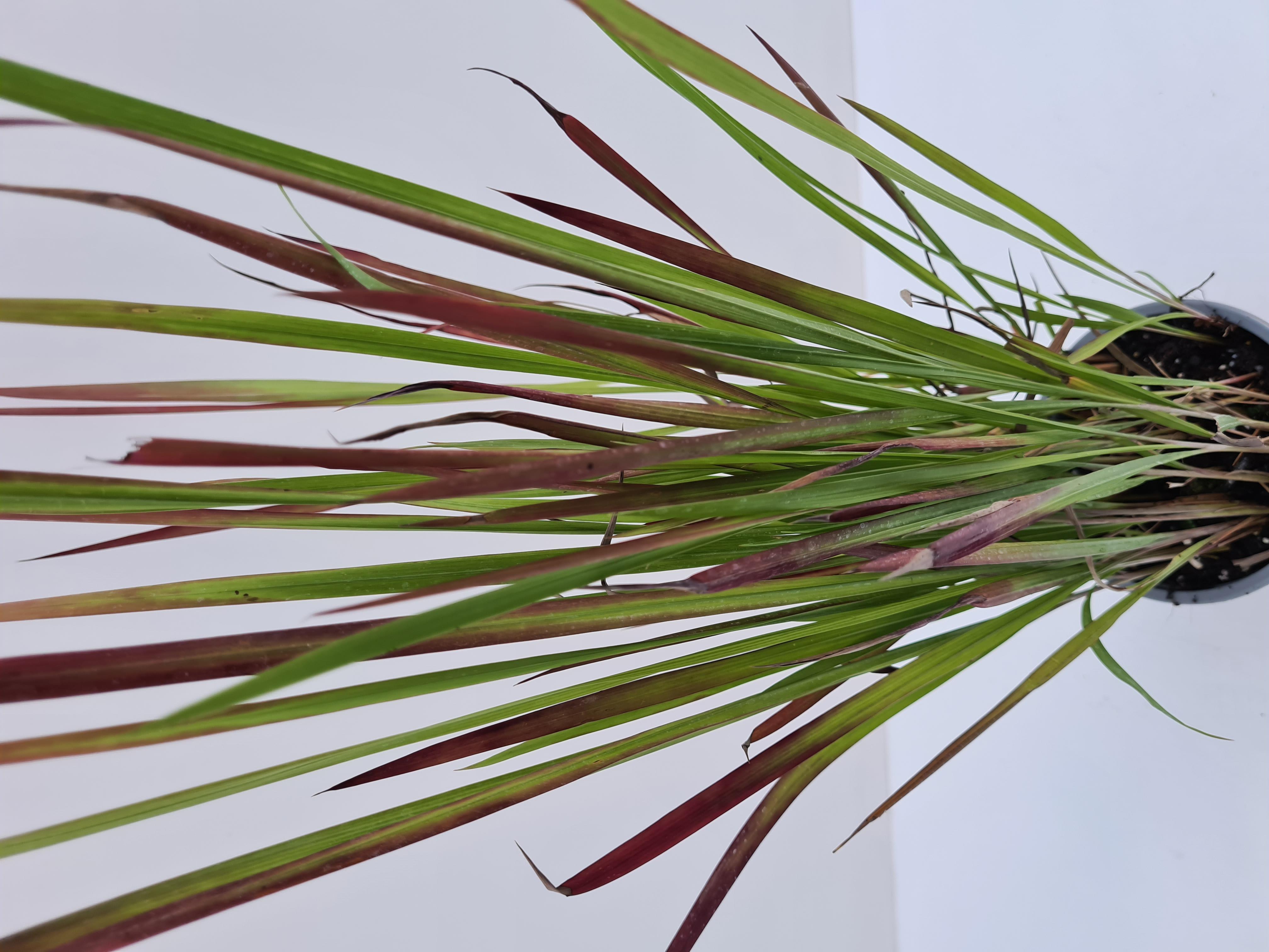 Imperata cylindrica T12 Red Baron - winterhartes Japanisches Blutgras