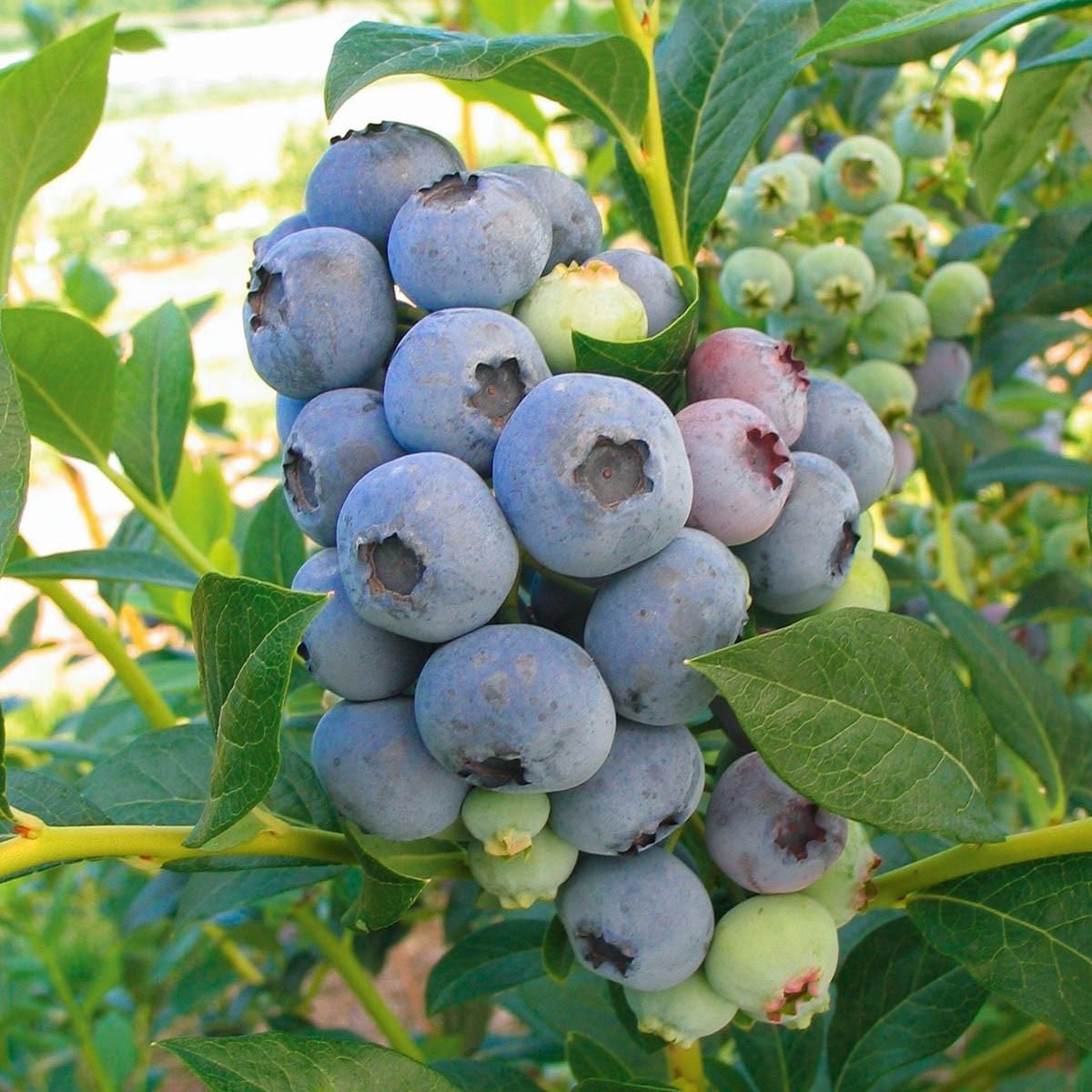 Ertragreiche Garten-Heidelbeere 'Bluecrop'