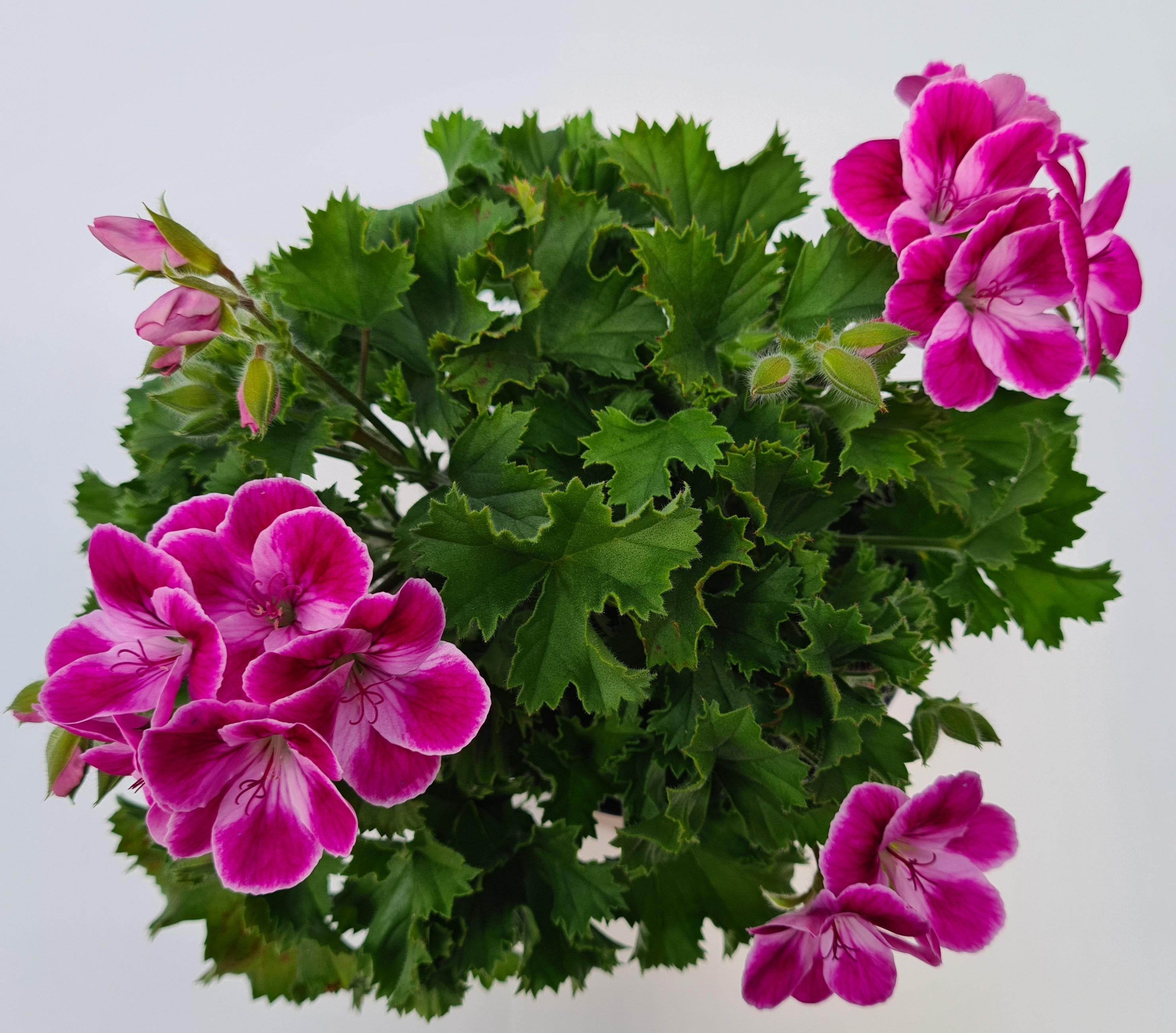 Calliope® Geranie Pinkerbell | rosa-weiß