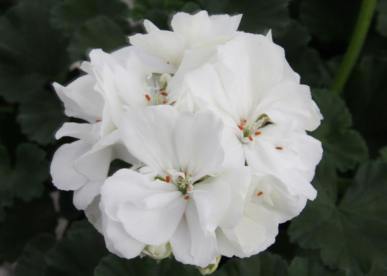 Geranie aufrecht wachsend | weiß gefüllt | 2 Stück