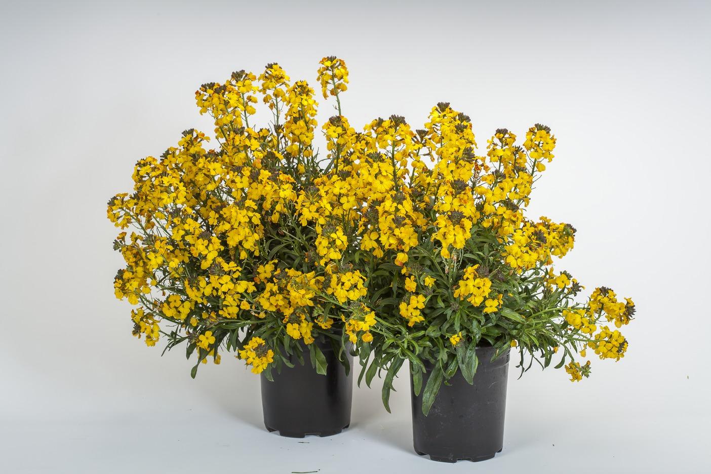 Erysimum 'Yellow' – gelber Schöterich