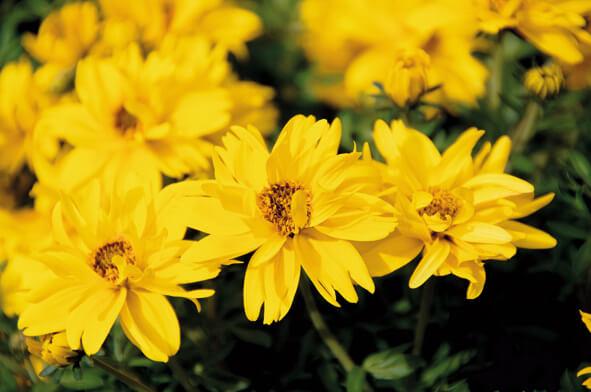 """Bidens Goldmarie """"Tweety"""" gefüllt gelb"""