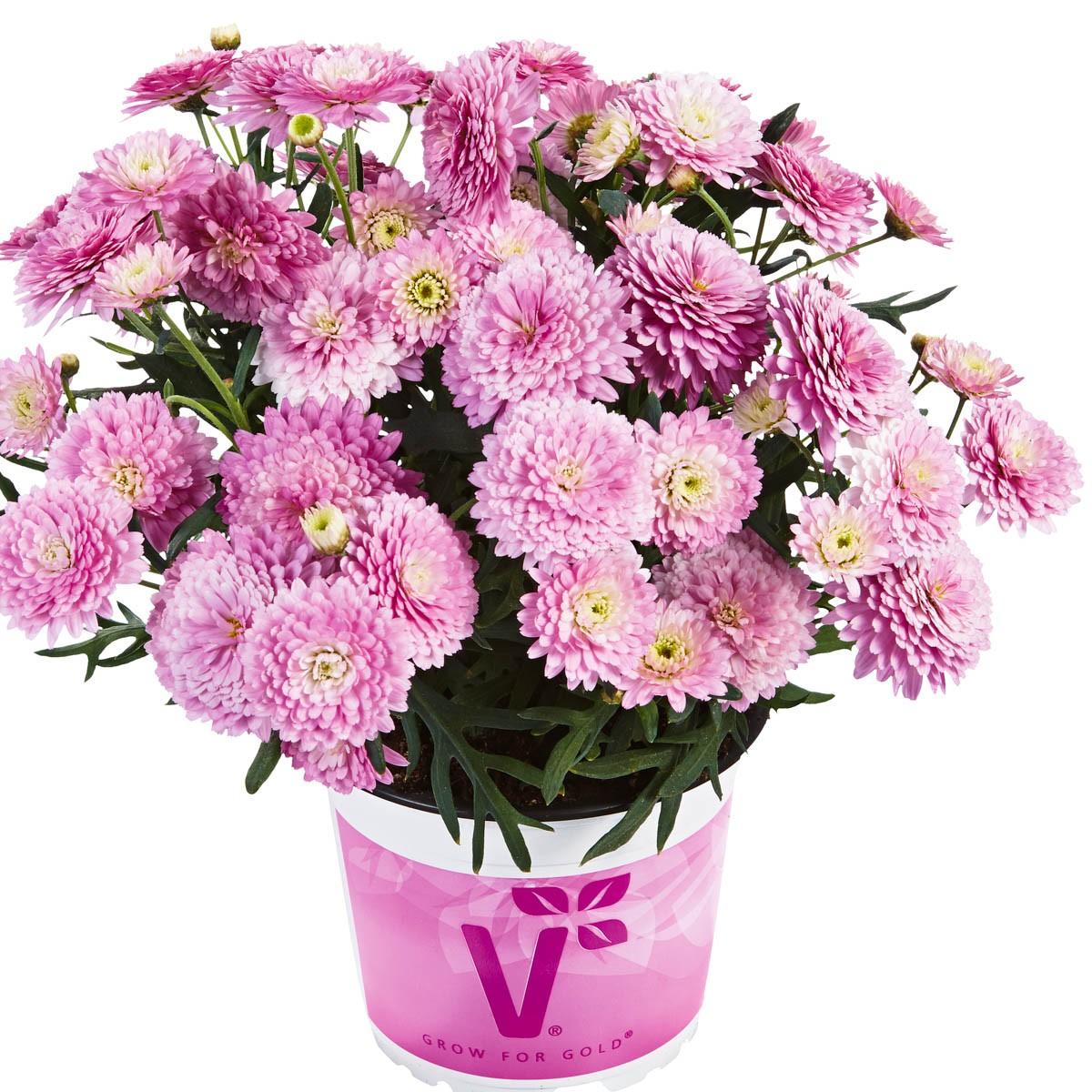 Strauchmargerite (Argyranthemum) 'pink' gefüllt