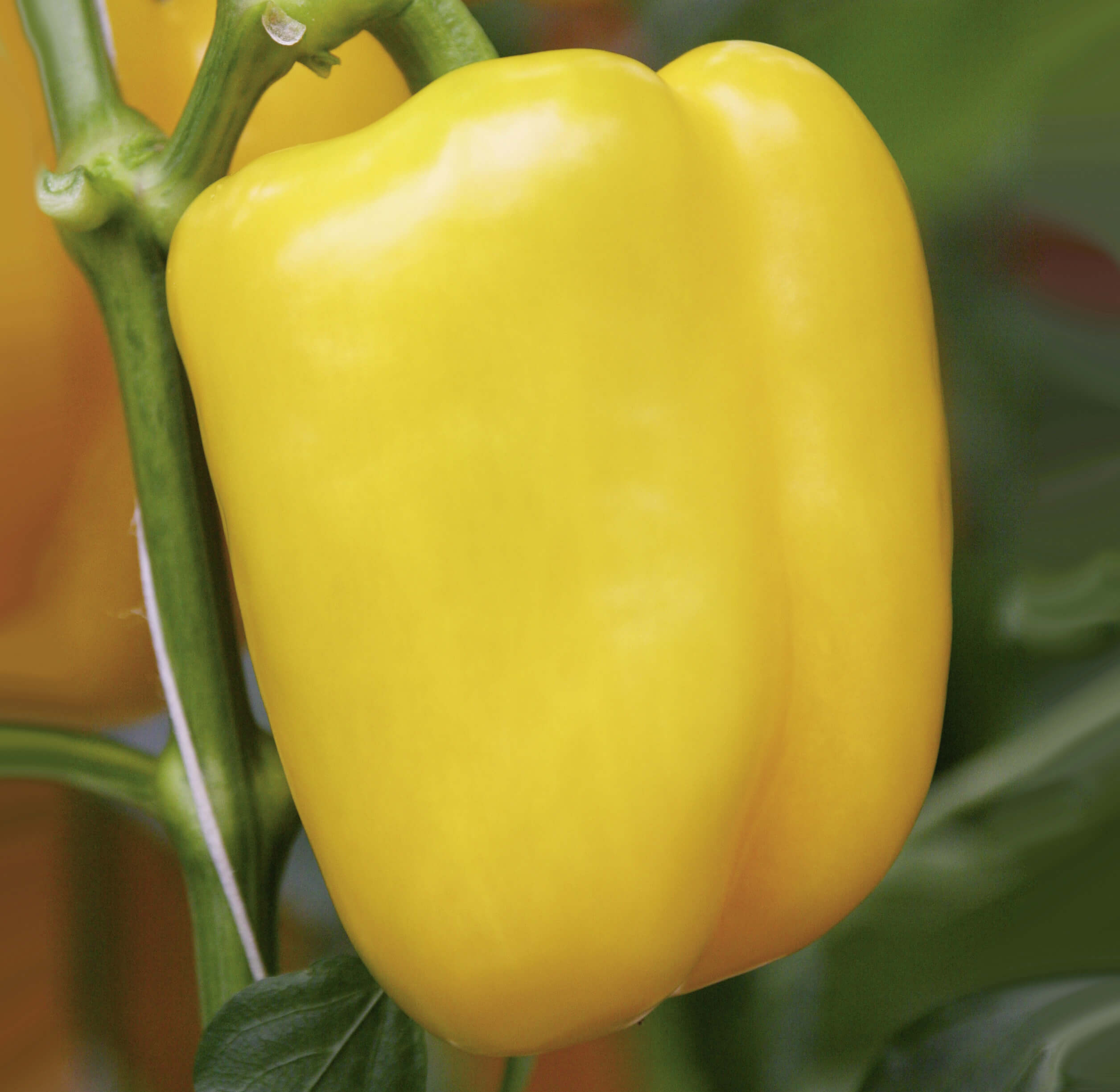 Block-Paprika 'Beluga Yellow'