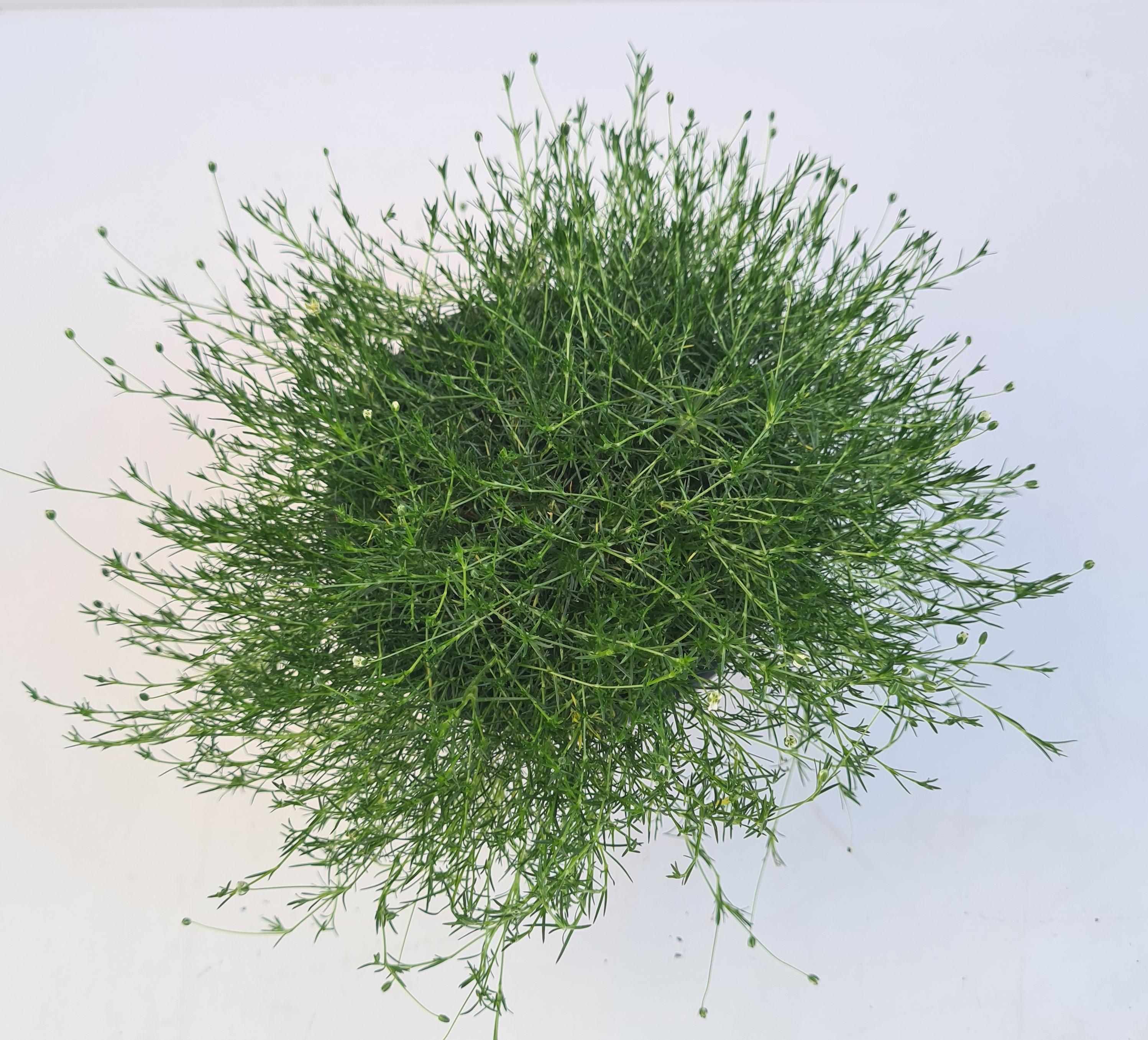 Sagina subulata T12 Scotch Moss | grünes Sternmoos - winterhart