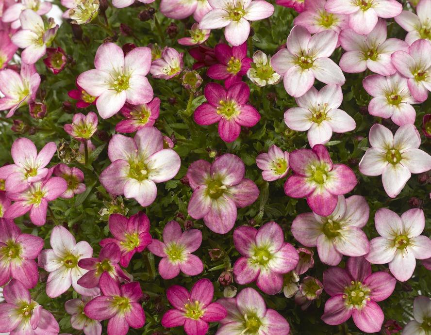 "Steinbrech (Saxifaga) ""Lofty"" Pink Shades"