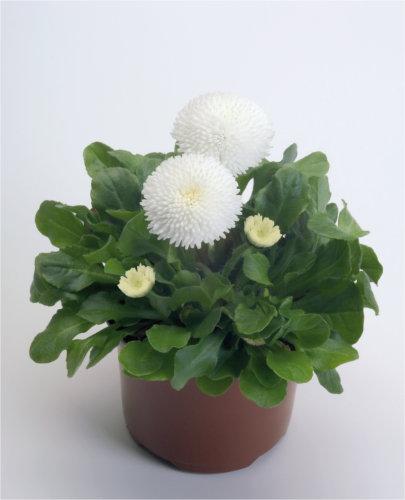 Edel Gänseblümchen (Bellis) weiß großblütig