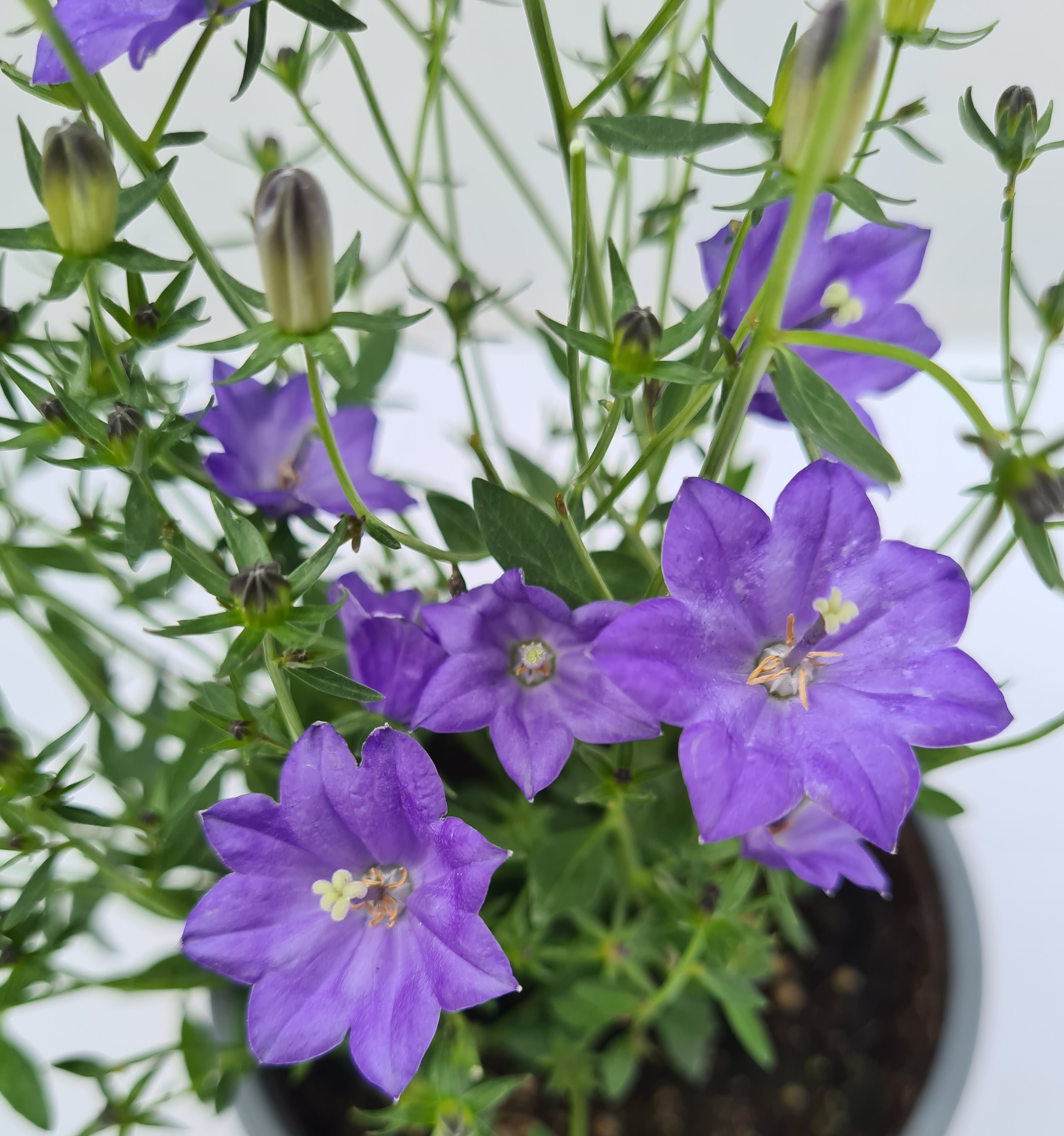 Campanula interspecific T12 Dark Blue - winterhart