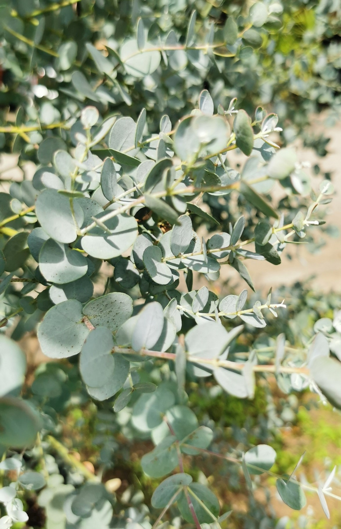 Silbertropfen (Eucalyptus gunnii) Silbertropfen T12 -winterhart-