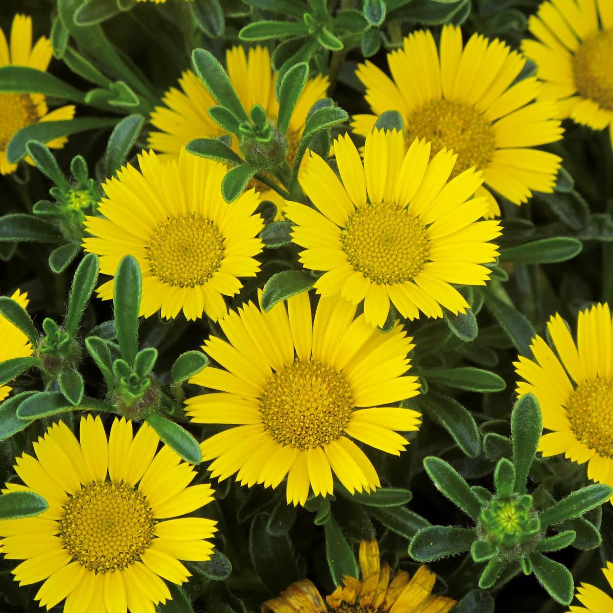 Goldtalerblume (Asteriscus) 'gelb'