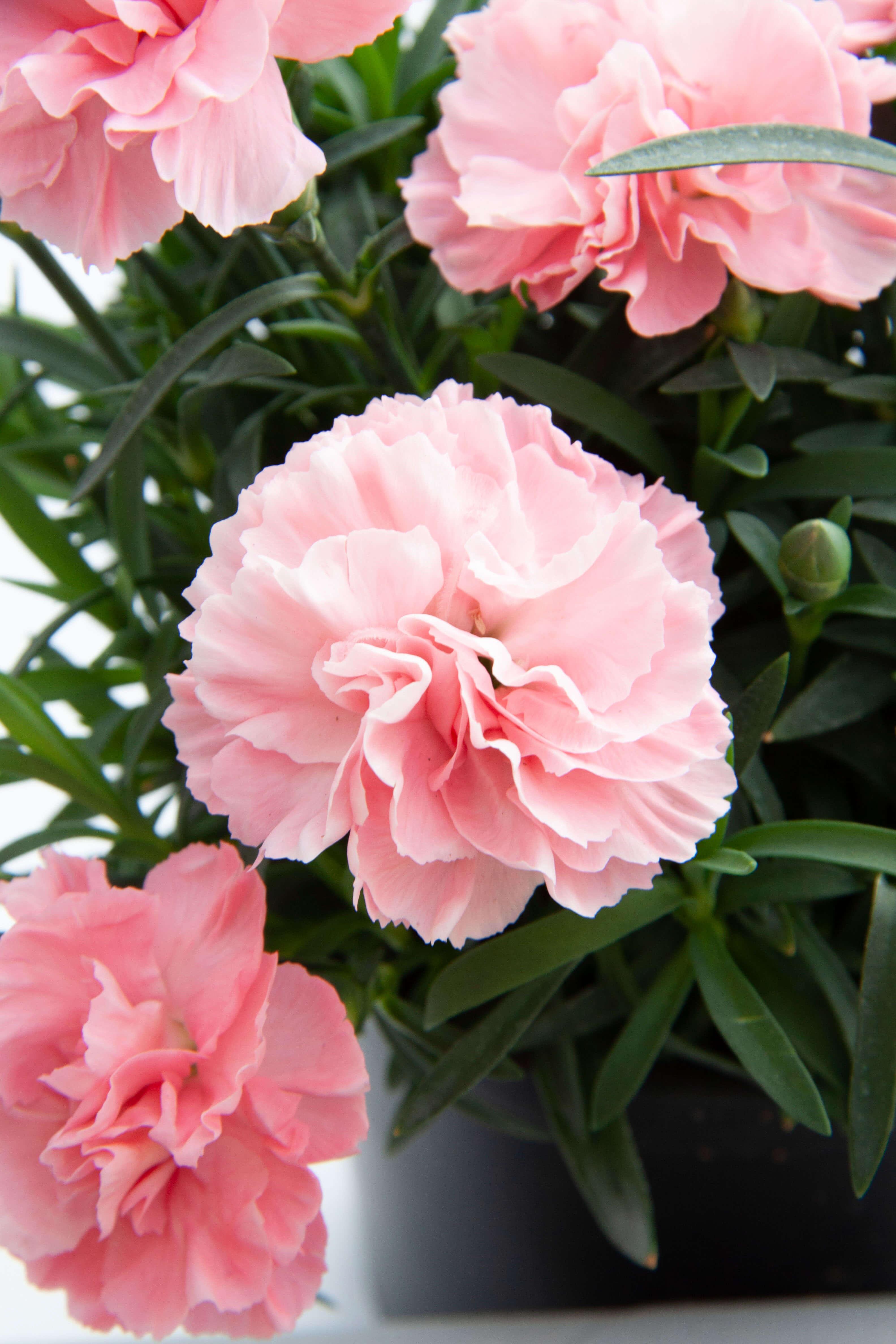 "Nelke (Dianthus) gefüllt ""SuperTrouper"" Giulia weiß-rosa"