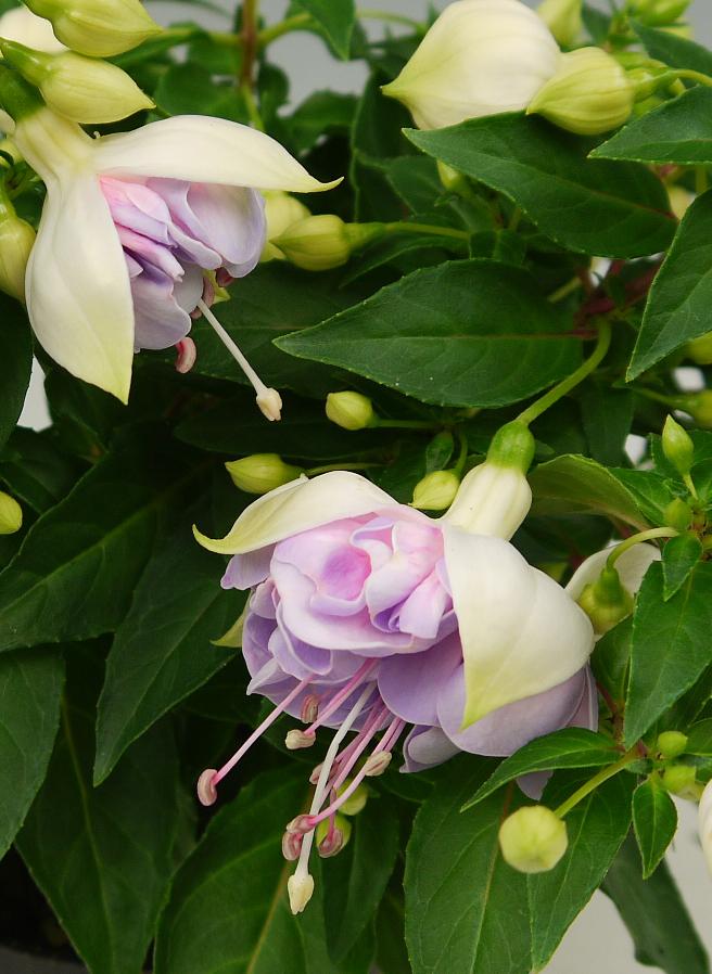 Fuchsie Jollies XXL Picardie® weiß - altrosa gefüllt großblumig