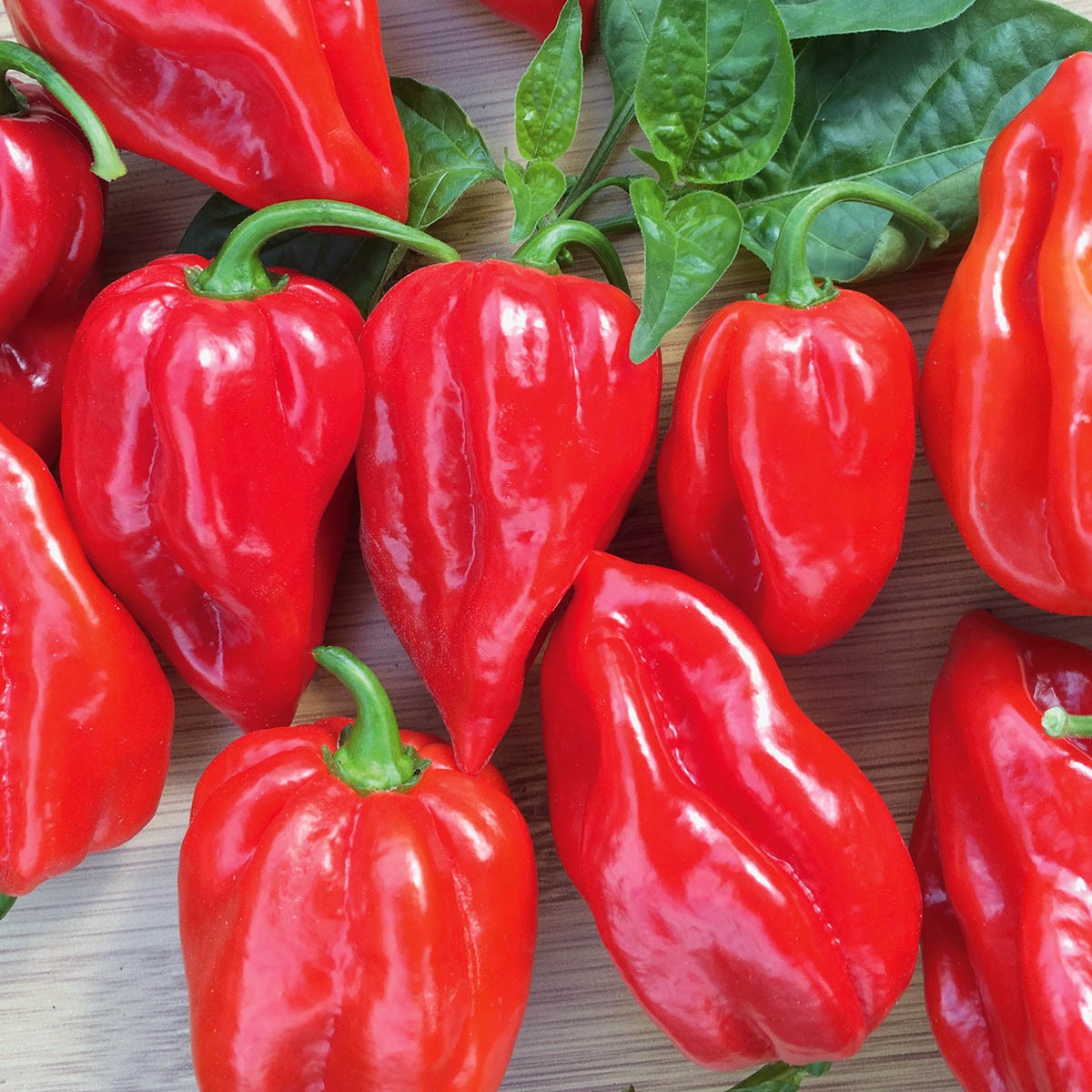 Feuerscharfer Habanero-Chili 'Calita® Red'