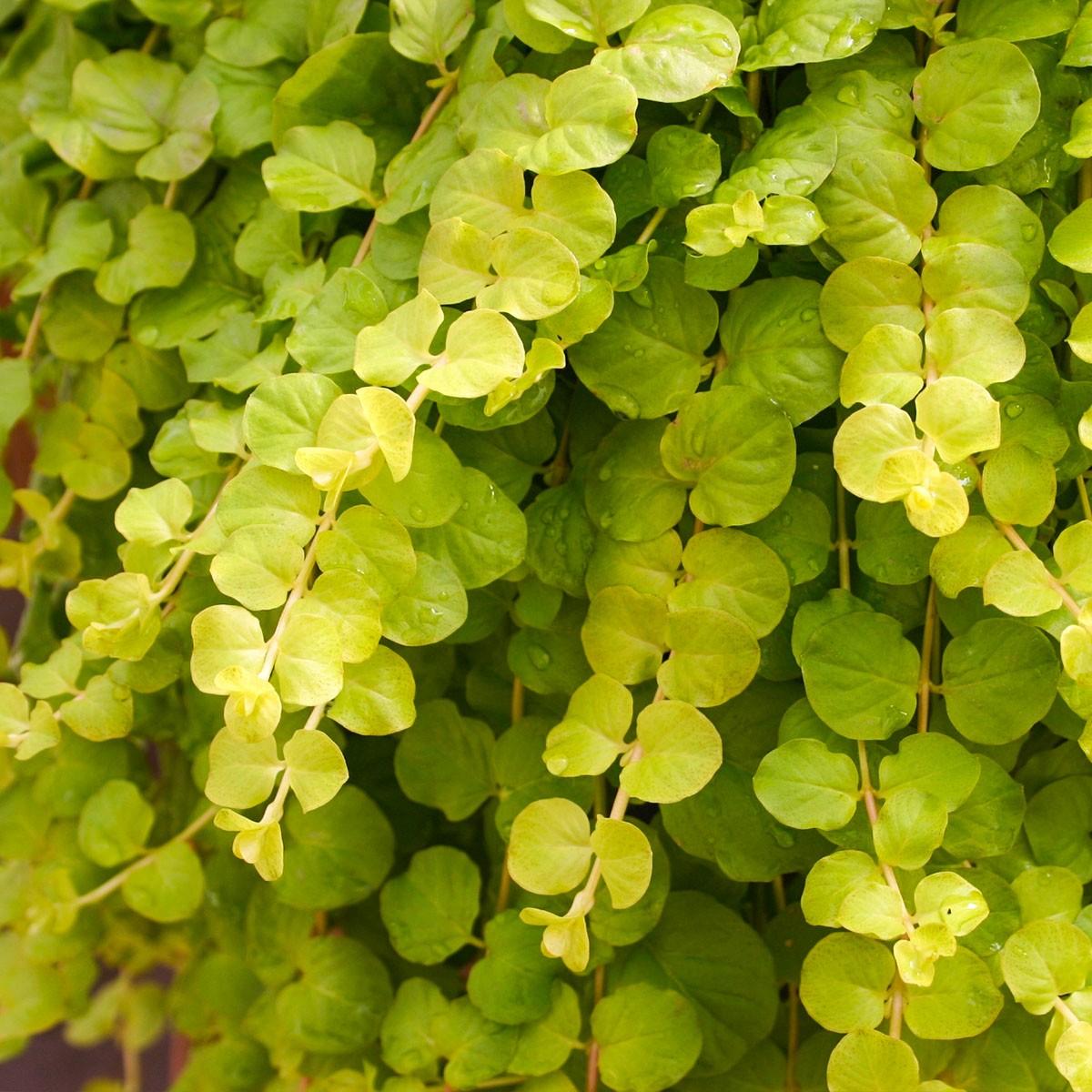 Pfennigkraut (Lysimachia) 'Goldilocks'