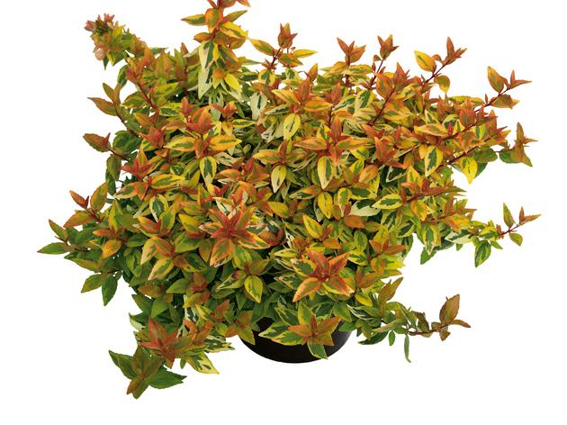 Großblütige Abelie (Abelia grandiflora) 'Kaleidoscope' T12 - winterhart
