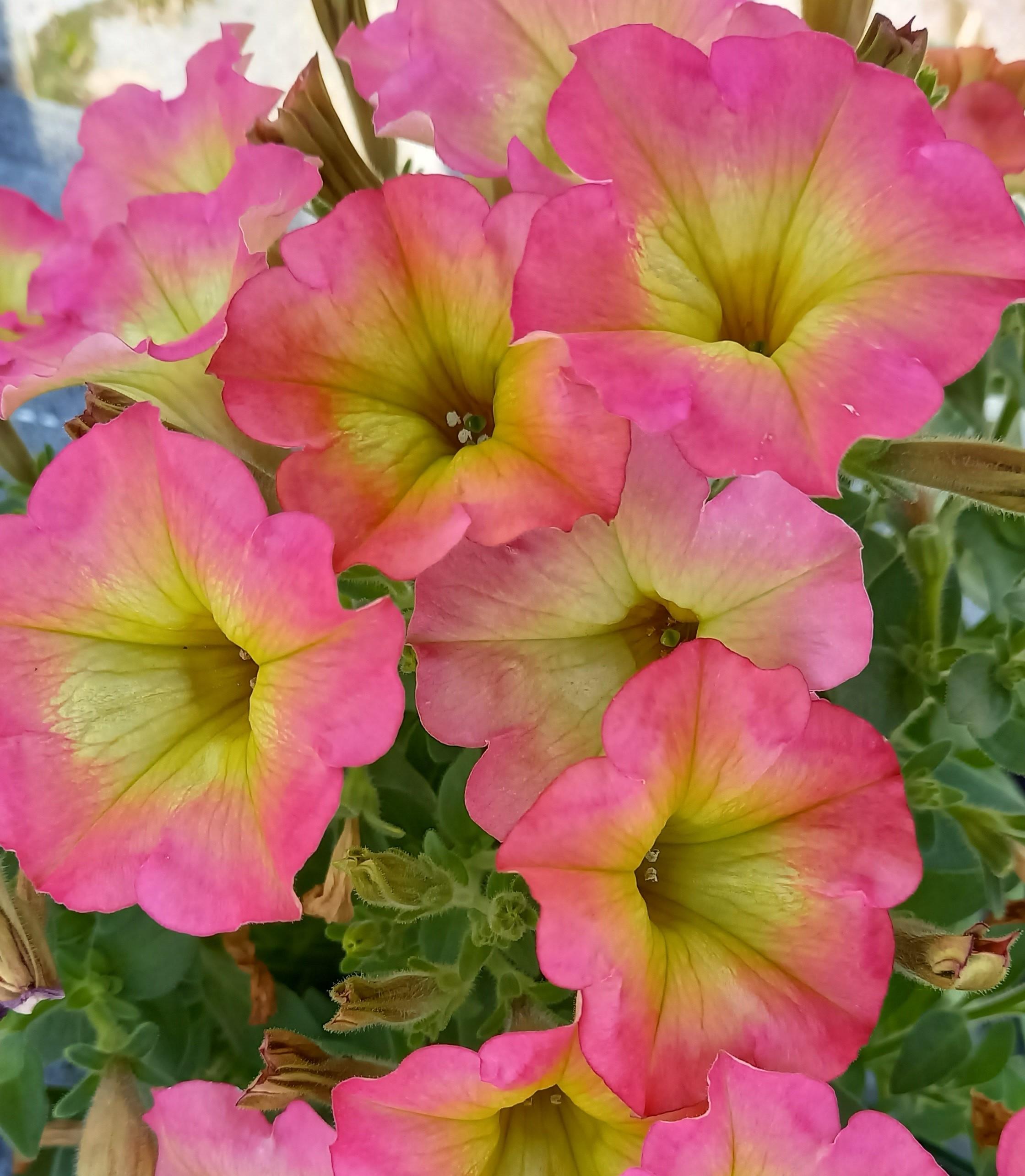 Petunie T12 'Aurora Pink Mango'  überhängend