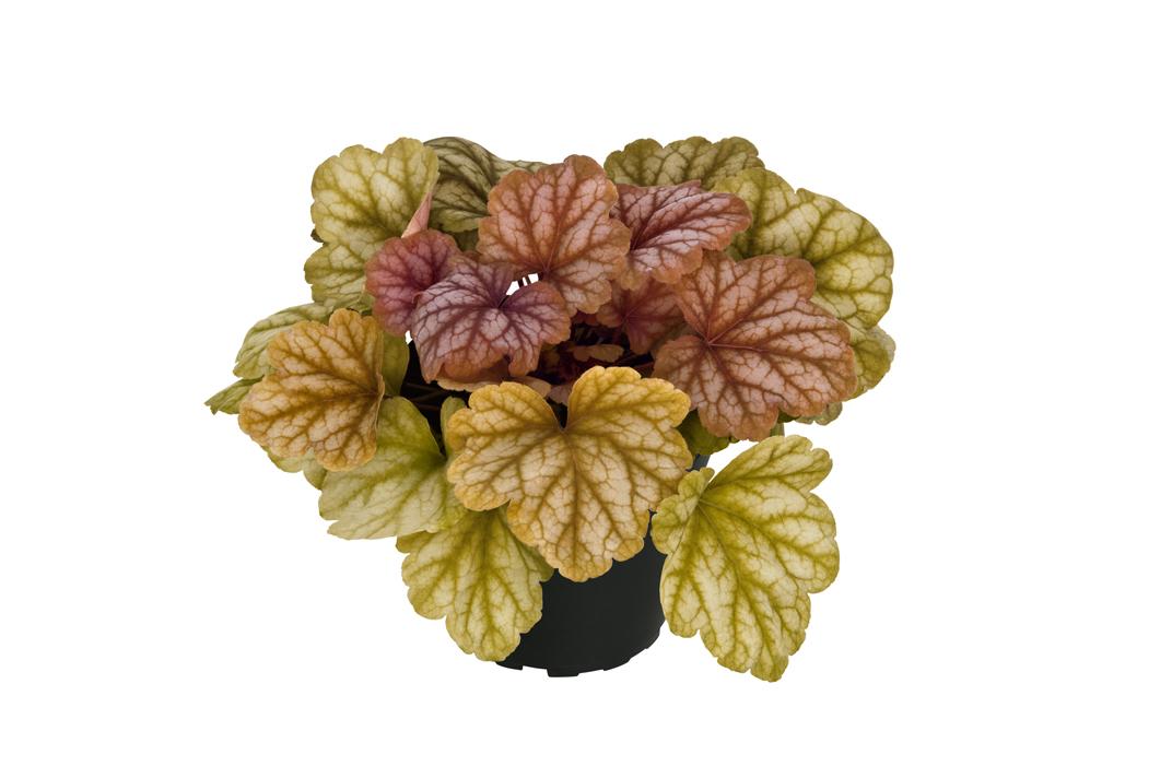 Purpurglöckchen (Heuchera) 'Champagne' T12, creme-bronze - winterhart -