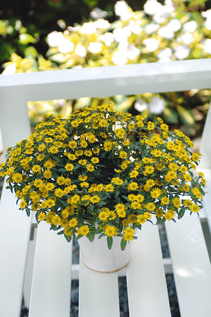Husarenknöpfchen (Sanvitalia) 'gelb'