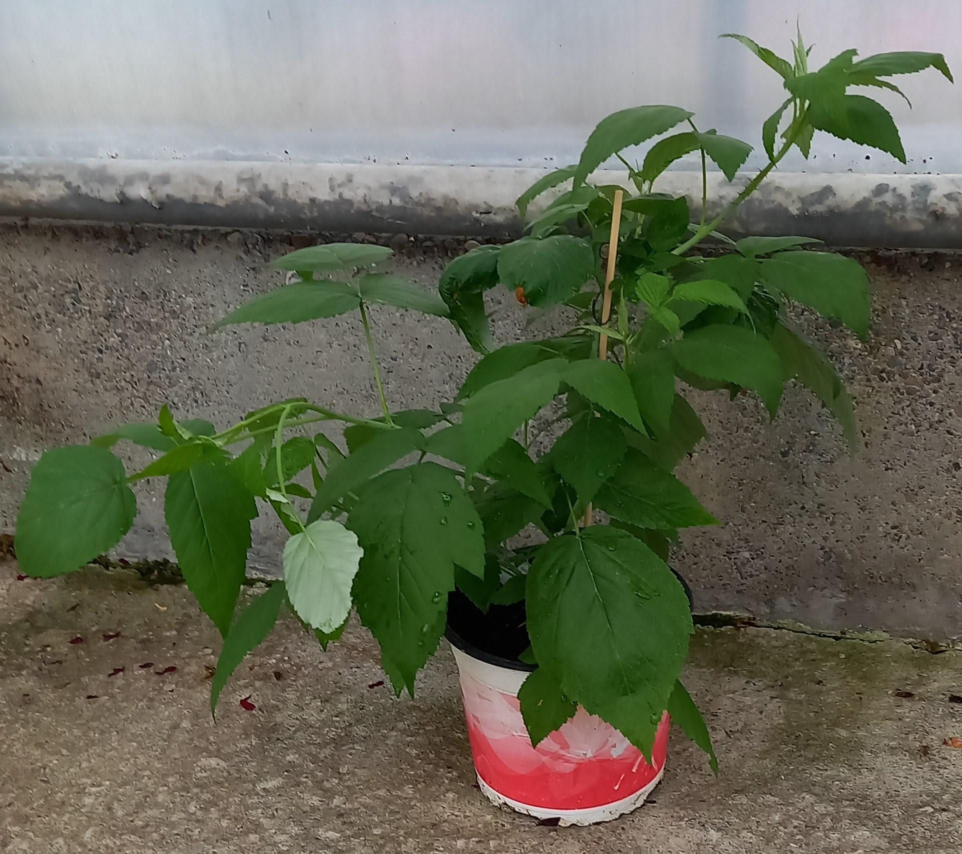 Garten-Himbeere 'Summer Lovers® Garden Purple' T17