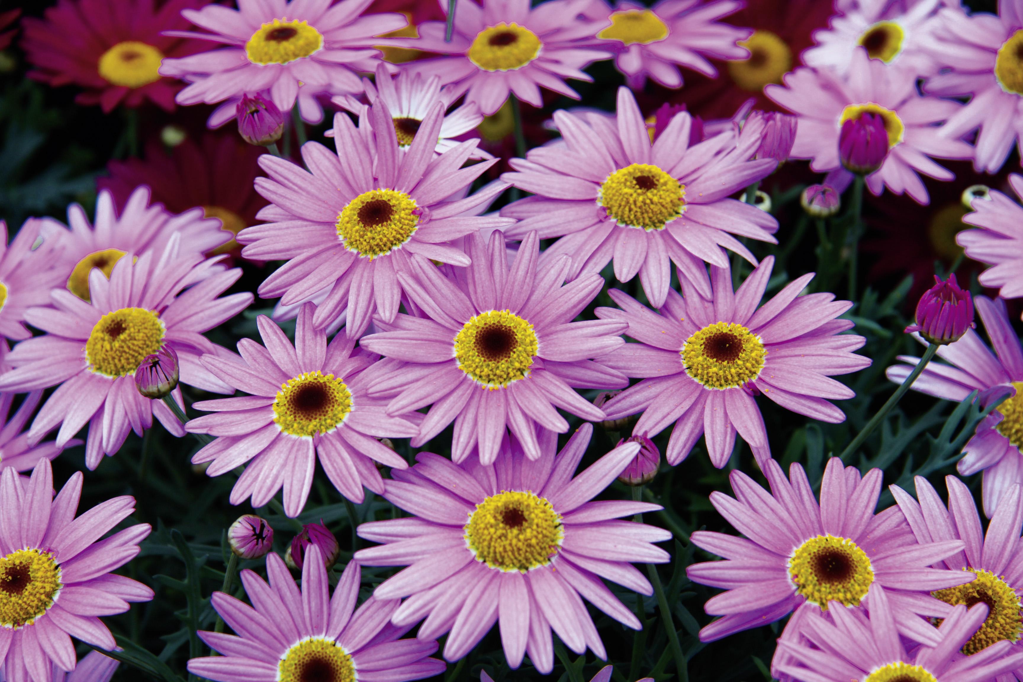 Strauchmargerite (Argyranthemum) 'Pink Eye'