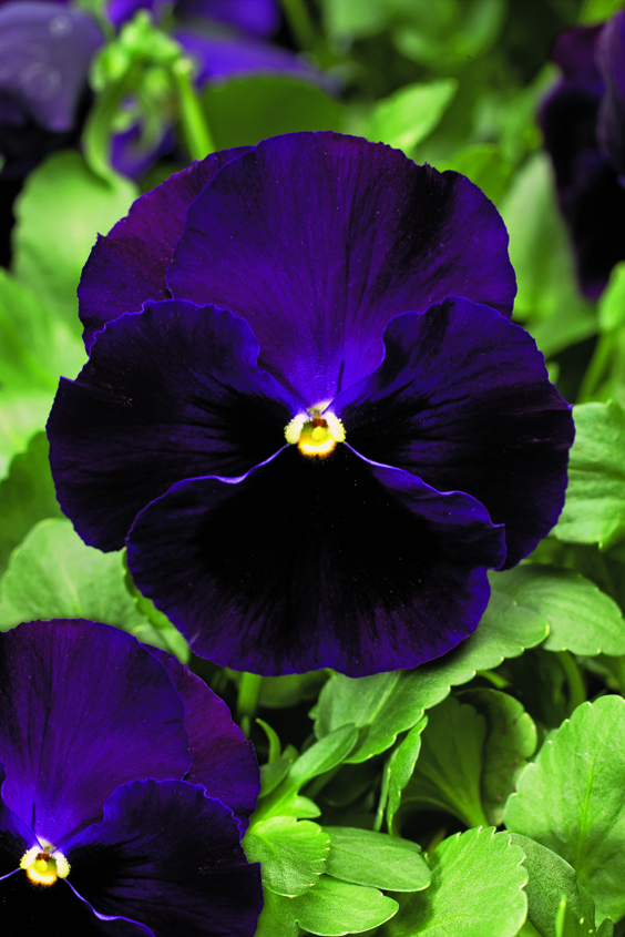 Stiefmütterchen (Viola) Violet mit Auge