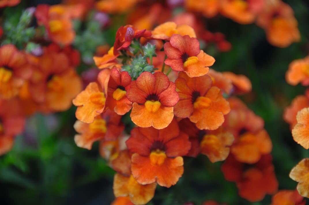 Elfenspiegel Sunsatia (Nemesia) 'Orange'