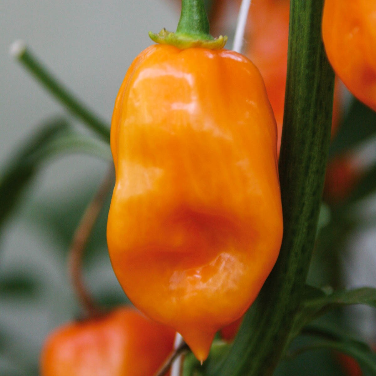 Feuerscharfer Habanero-Chili 'Calita® Orange'
