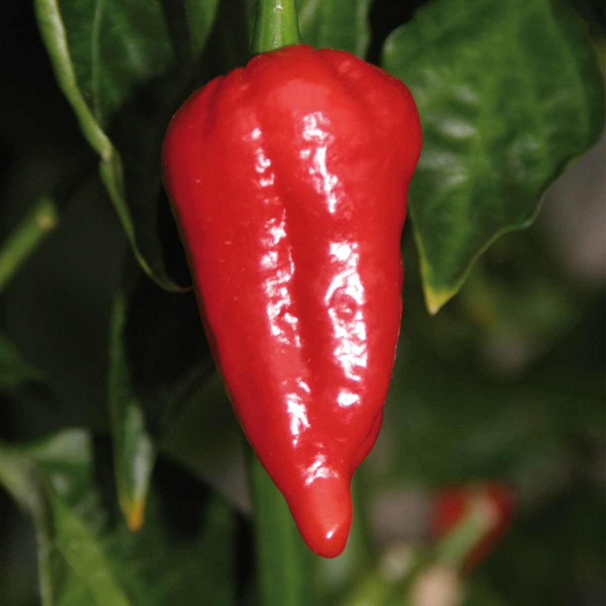 Indischer Chili Dorset Naga 'Cresto®'