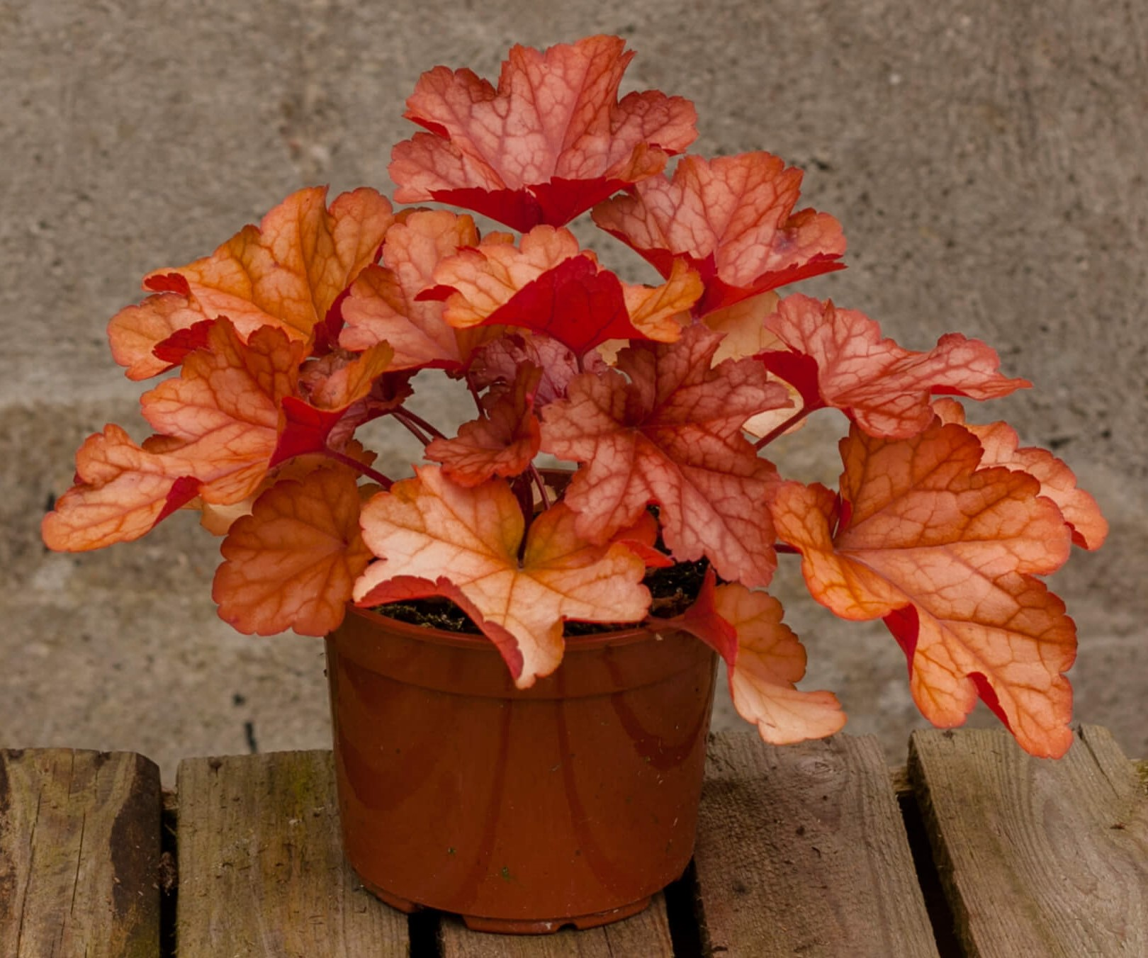 Purpurglöckchen (Heuchera) 'Paprika' T12, orange - winterhart -