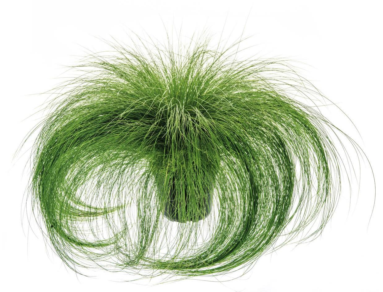 Engelshaargras/Federgras (Stipa tenuissima) 'Ponytails' T12  - winterhart -