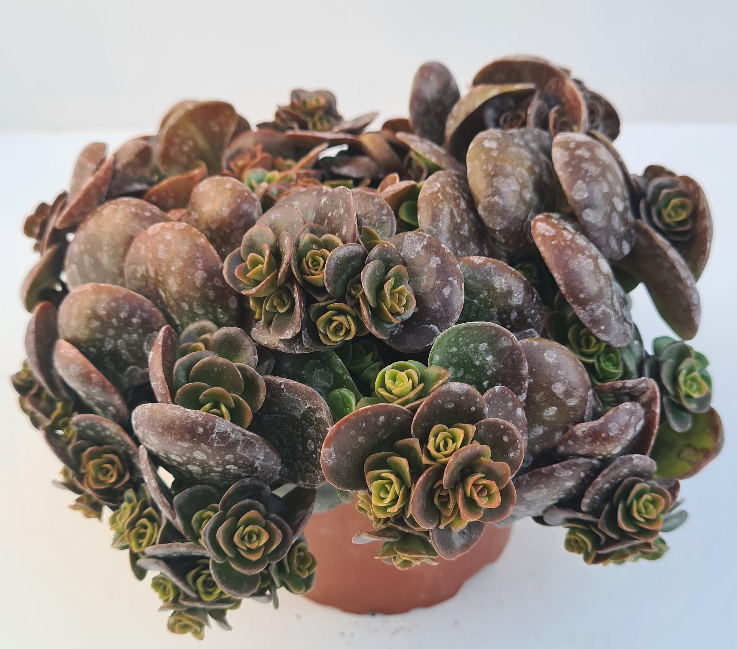 Sedum tetractinum T12 Coral Reef - winterhart