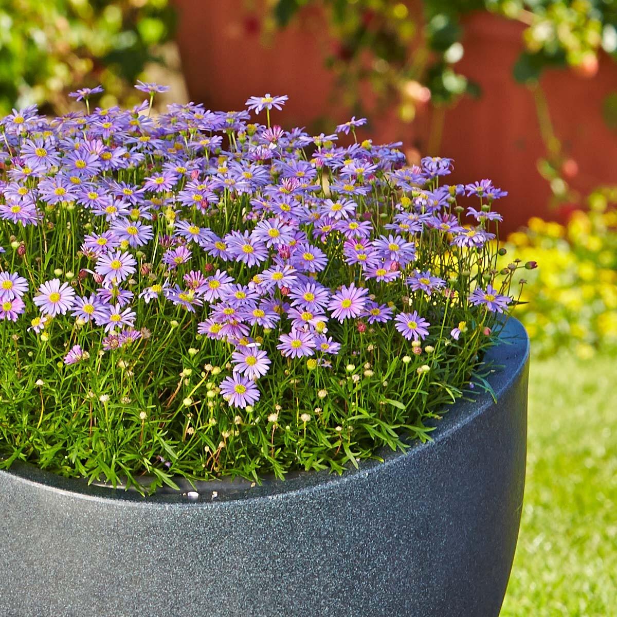 Australisches Gänseblümchen 'Balou Violet'