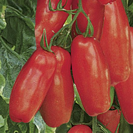 San Marzano Tomate (veredelt) Tuma Red - 110 gr.
