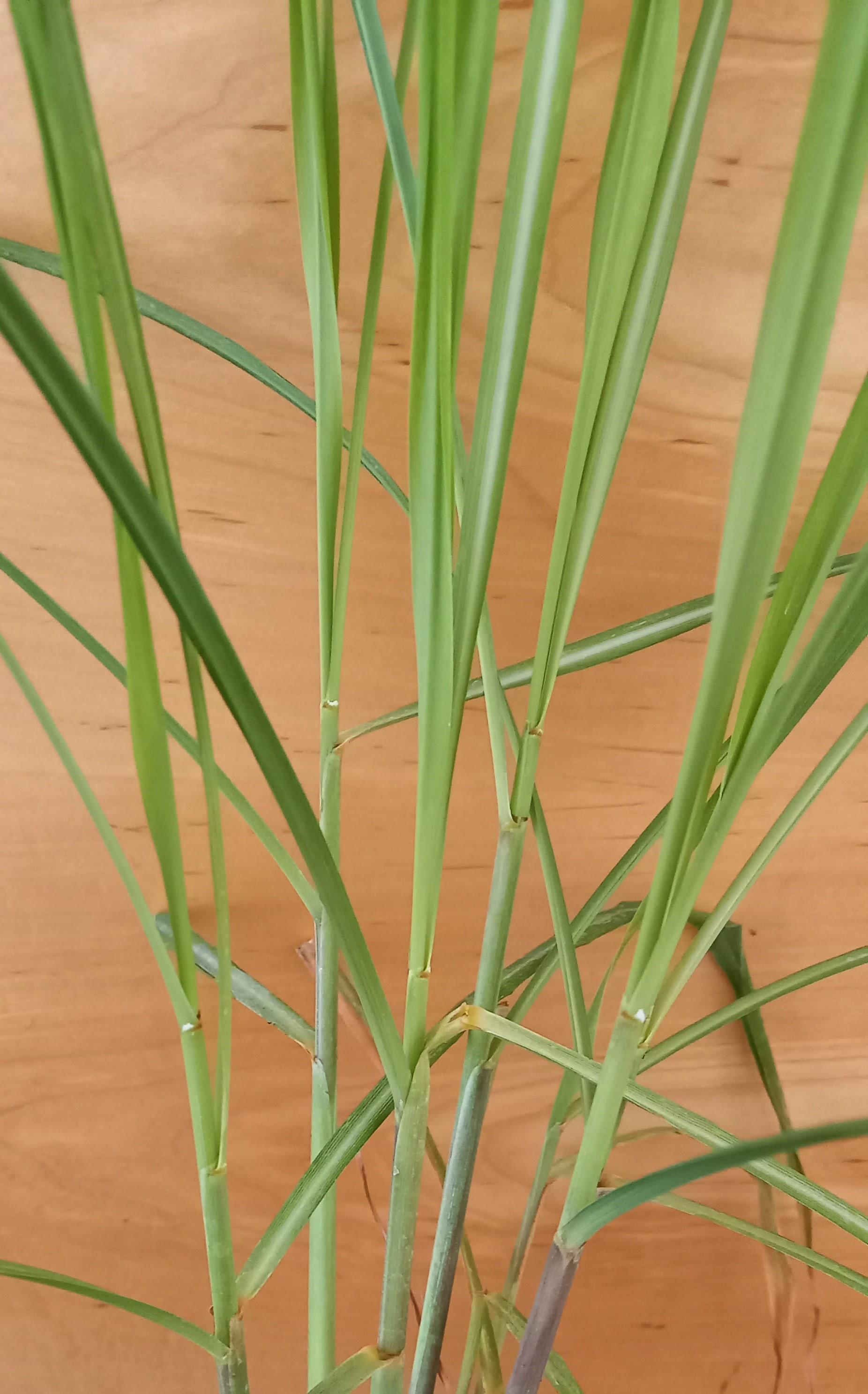 Zitronengras (Cymbopogon citratus) T12 XXL