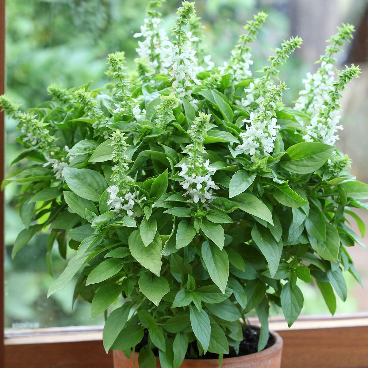 Blüten-Basilikum 'Floral Spires White' | einjährig
