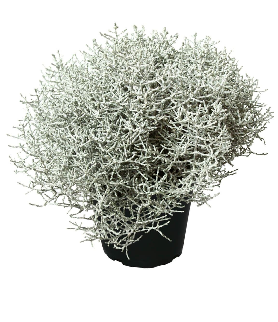 Stacheldrahtpflanze (Calocephalus brownii) T12