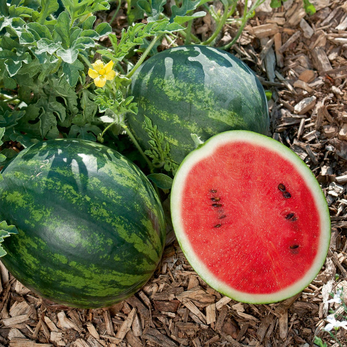 Mini-Wassermelone 'Mini Love' (veredelt)