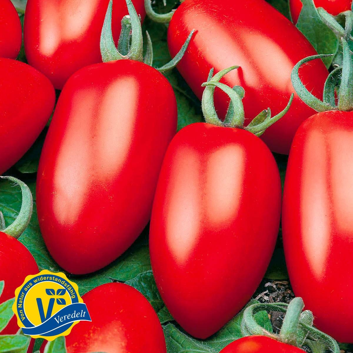 Mini San Marzano Tomate 'Caprese' (Veredelt)