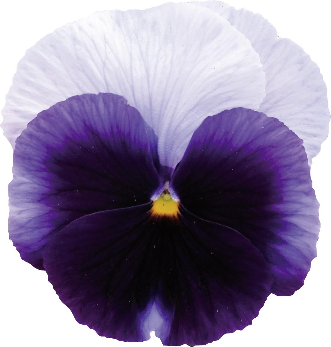 Stiefmütterchen (Viola) F1 Beaconsfield