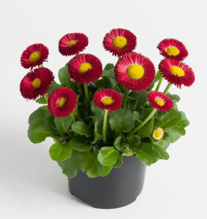 Edel Gänseblümchen (Bellis) rot kleinblütig