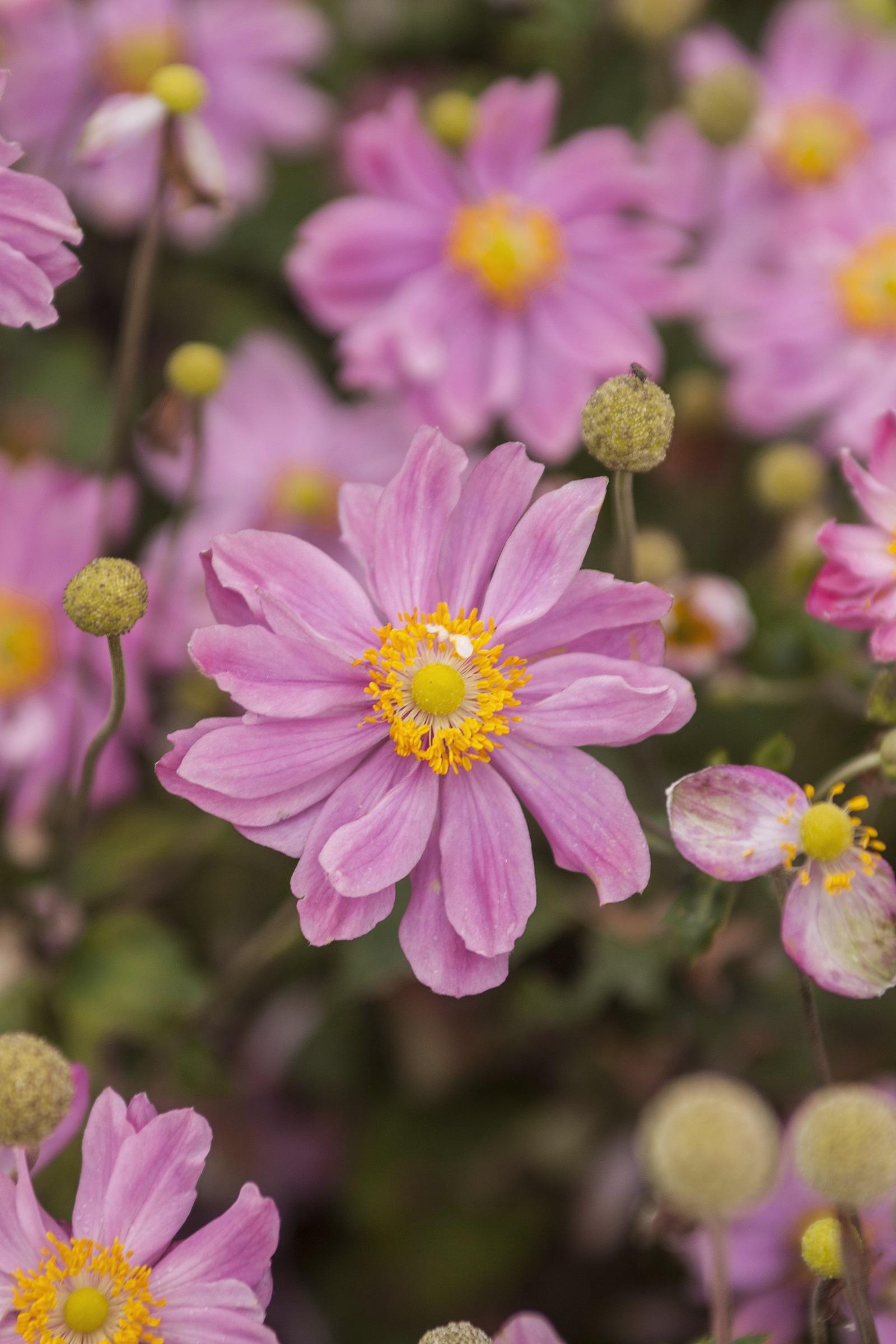 Herbst-Anemone (Anemone japonica) 'Pretty Lady Emily' T19, rosa - winterhart